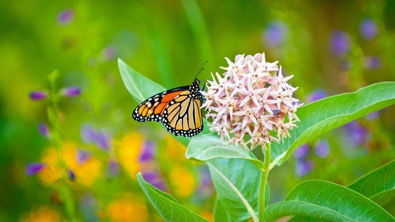 Monarch butterflies hover among the milkweed on the Green Bay Trail