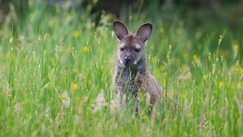 The Ballaugh Curragh wetland is home to wild wallabies
