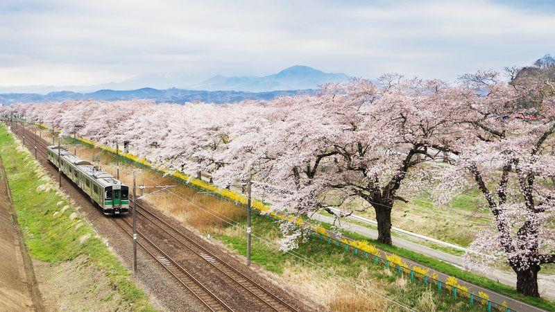 Cherry blossoms are a short train ride away