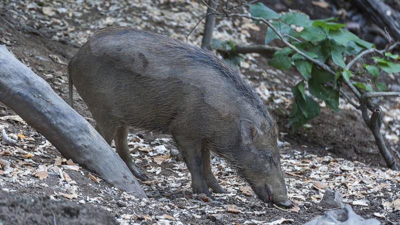 Wild boar often forage for food discarded by humans
